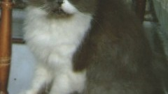 Zaginął kot rasy PERS