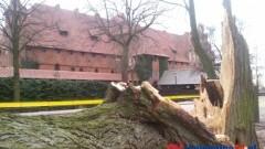 WICHURA POWALIŁA DRZEWO POD ZAMKIEM W MALBORKU – 17.03.2014