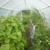 Uprawa bobu w tunelach foliowych