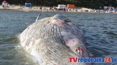 Stegna. Rok temu morze wyrzuciło na brzeg martwego wieloryba. Zobacz nasze wideo - 22.08.2016