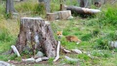 Pomorski Wojewódzki Lekarz Weterynarii informuje o szczepieniu lisów dzikich przeciwko wściekliźnie - 23- 27.04.2017 r.