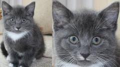 Zaginął kot o imieniu SIWY w Nowej Wsi Malborskiej - 20.04.2017. Aktualizacja odnaleziony