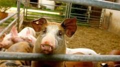 Malbork : Informacje Powiatowego Inspektoratu Weterynarii na temat wymogów dotyczących zabezpieczenia gospodarstw, w których utrzymywane są świnie
