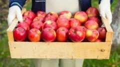 Dystrybucja jabłek dla mieszkańców Gminy Miłoradz