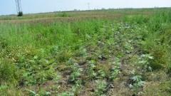 Gmina Stegna: Zabezpieczono nielegalną uprawę marihuany wartą ponad 60 tys. zł