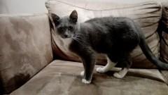 Potrzebna pomoc. Właściciel poszukuje Siwego. Kot zaginął w okolicy Nowej Wsi Malborskiej.