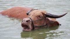 Nietypowa akacja malborskich strażaków. Uwięziona w rzece krowa w Nowym Stawie