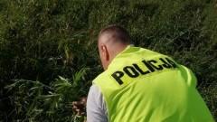 Zlikwidowana plantacja marihuany w powiecie nowodworskim