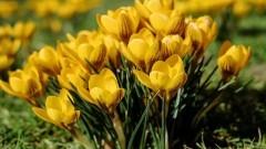 Pod ZSP3 na wiosnę zakwitną żółte krokusy. Szkoła przyłączyła się do szczytnego projektu.