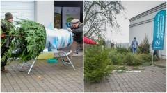 Nadleśnictwo Elbląg. Kupuj świąteczne drzewka z legalnej plantacji choinek.