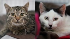 Dwa urocze koty – Siwek i Kiciuś czekają na nowy dom.