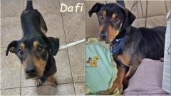 Malborskie Stowarzyszenie Przyjaciół Zwierząt REKS poszukuje chętnej osoby lub osób, które przygarną i pokochają psiaka o imieniu Dafi.
