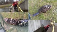 Bóbr uwięziony w wodnej elektrowni – weekendowy raport malborskich służb mundurowych.