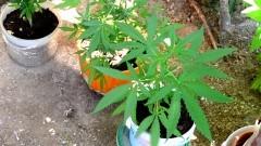 Cieszył się z pięknych roślinek - w gołębniku hodował marihuanę.
