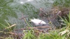 800 kg martwych ryb. Jezioro bez życia! Czy oczyszczalnia w Sztumskim Polu jest odpowiedzialna za zatrucie Jeziora Kaniewskiego? – 30.04.2016