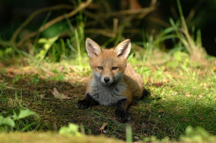 Uwaga! Szczepienie dzikich lisów - przeczytaj komunikat Pomorskiego Wojewódzkiego Lekarza Weterynarii