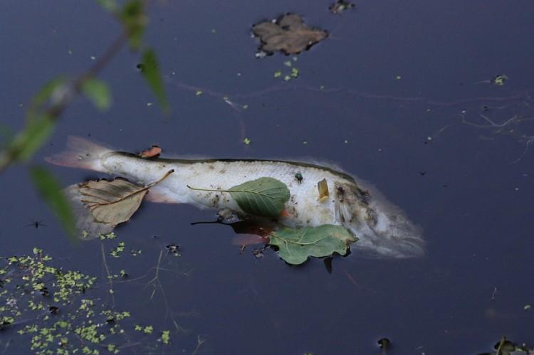 Upał i burze przyczyną śnięcia ryb w kanale wodnym w Ząbrowie?