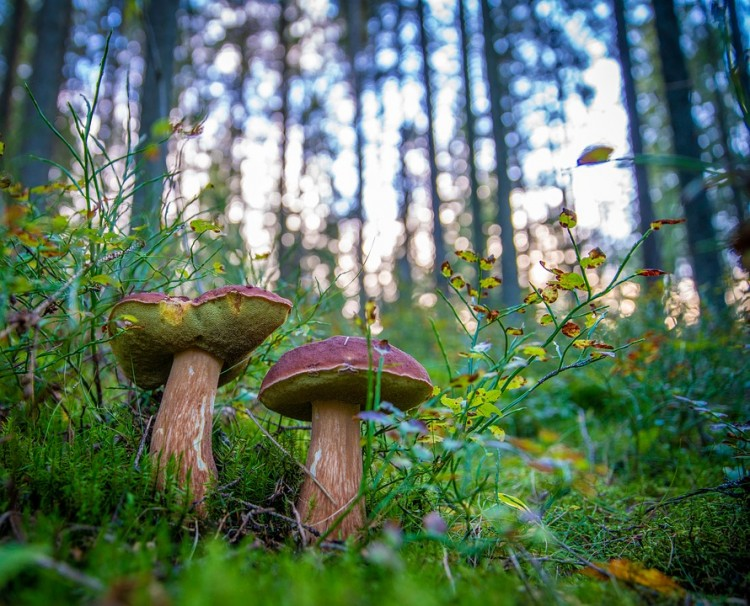 Grzybobranie z leśnikami w Krasnym Lesie.