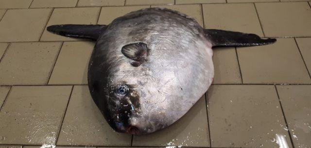 Samogłów złowiony w Krynicy Morskiej. Pierwsza taka ryba w południowo-wschodnim rejonie Zatoki Gdańskiej.