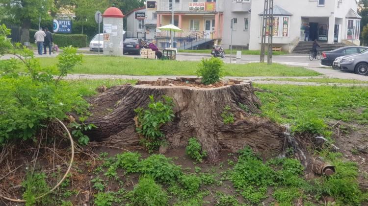 Sporo drzew wycięto w Malborku, jakie były tego powody?